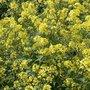 Gele-mosterd