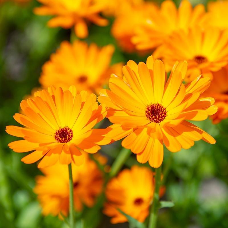 Eenjarige-bloemen