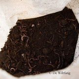 compostwormen, compostworm, wormenbak, wormbak wormen