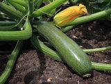 Courgette Zucchini_