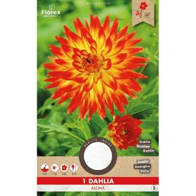 Dahlia Cactus Aloha Oranje/Geel