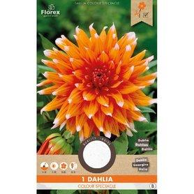 Dahlia Cactus Color Spectacle Oranje