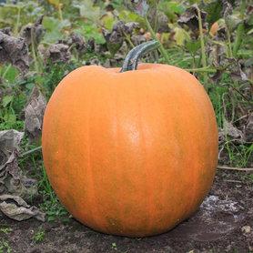 Halloween Pompoen Jack O'Lantern (de échte!!)