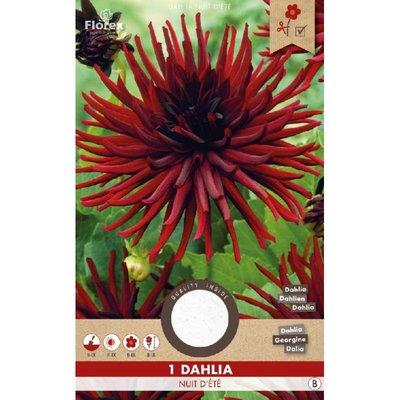 Dahlia Cactus Nuit d'ete Zwart