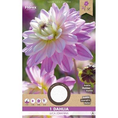 Dahlia Cactus Luca Johanna