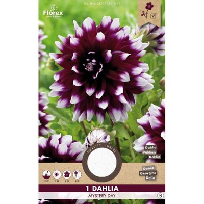 Dahlia Decoratief Mystery Day Paars/wit