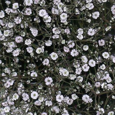 Gipskruid - gypsophila paniculata
