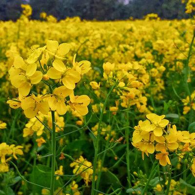 Groenbemester - gele morsterd