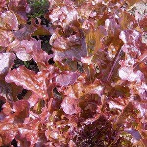 Eikenbladsla Red Salad Bowl